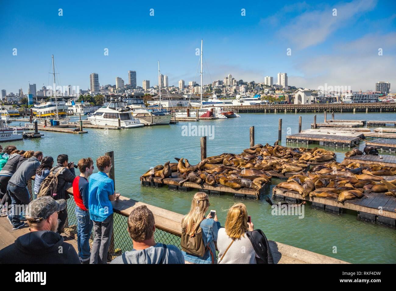 Sea lion colony sunbathing. Pier 39. Fisherman Wharf neighborhood. San Francisco. California, USA - Stock Image