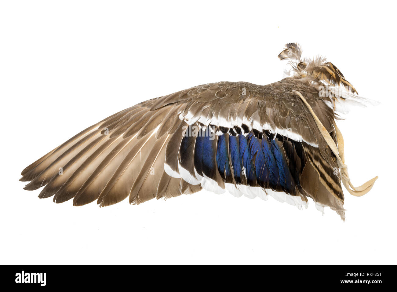 Wing of a mallard duck as an air fan in Indian or Esoteric area isolated on White - Stock Image
