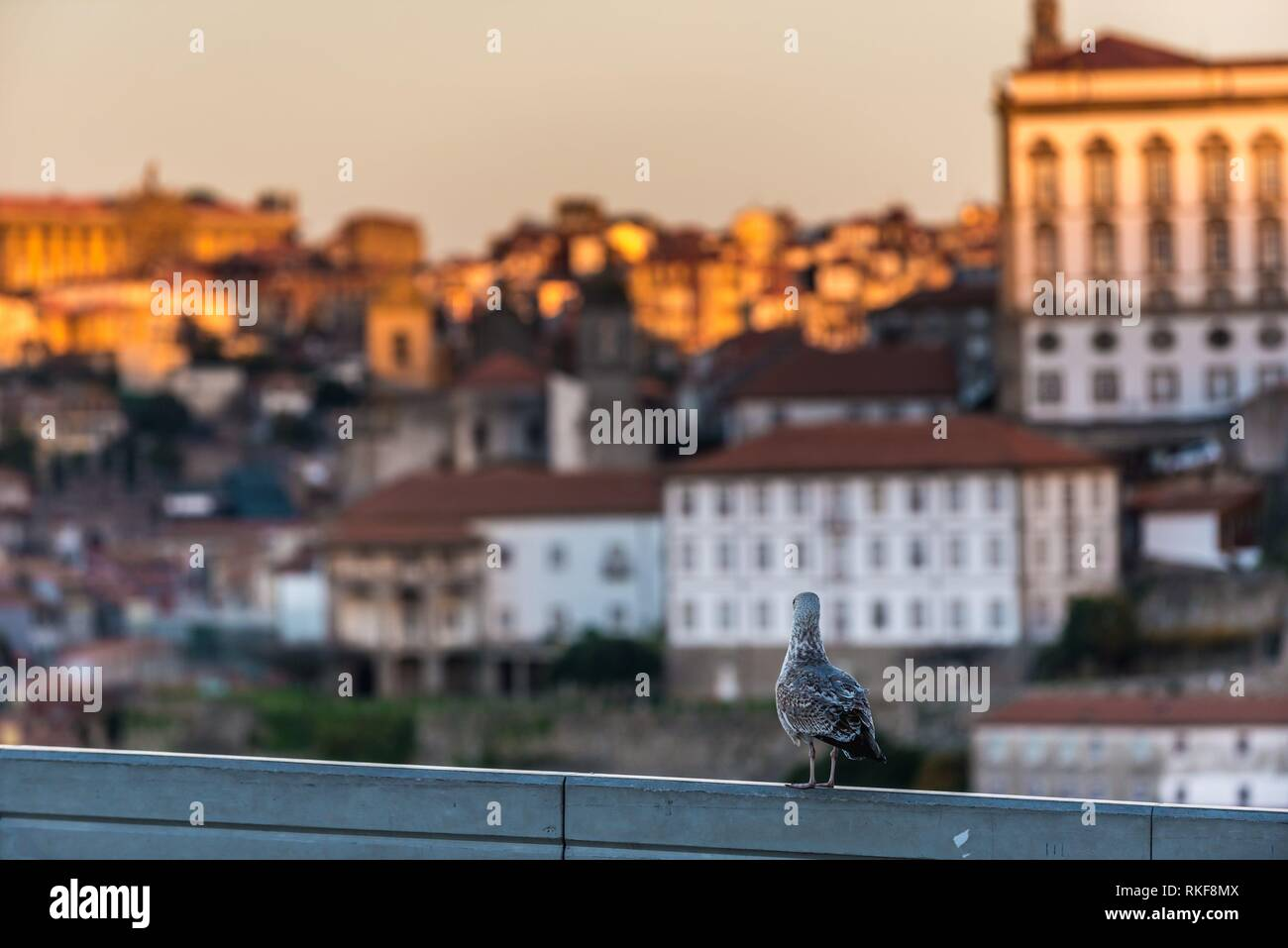 Seagull on a fence in Vila Nova de Gaia City. Porto city buildings on background. - Stock Image