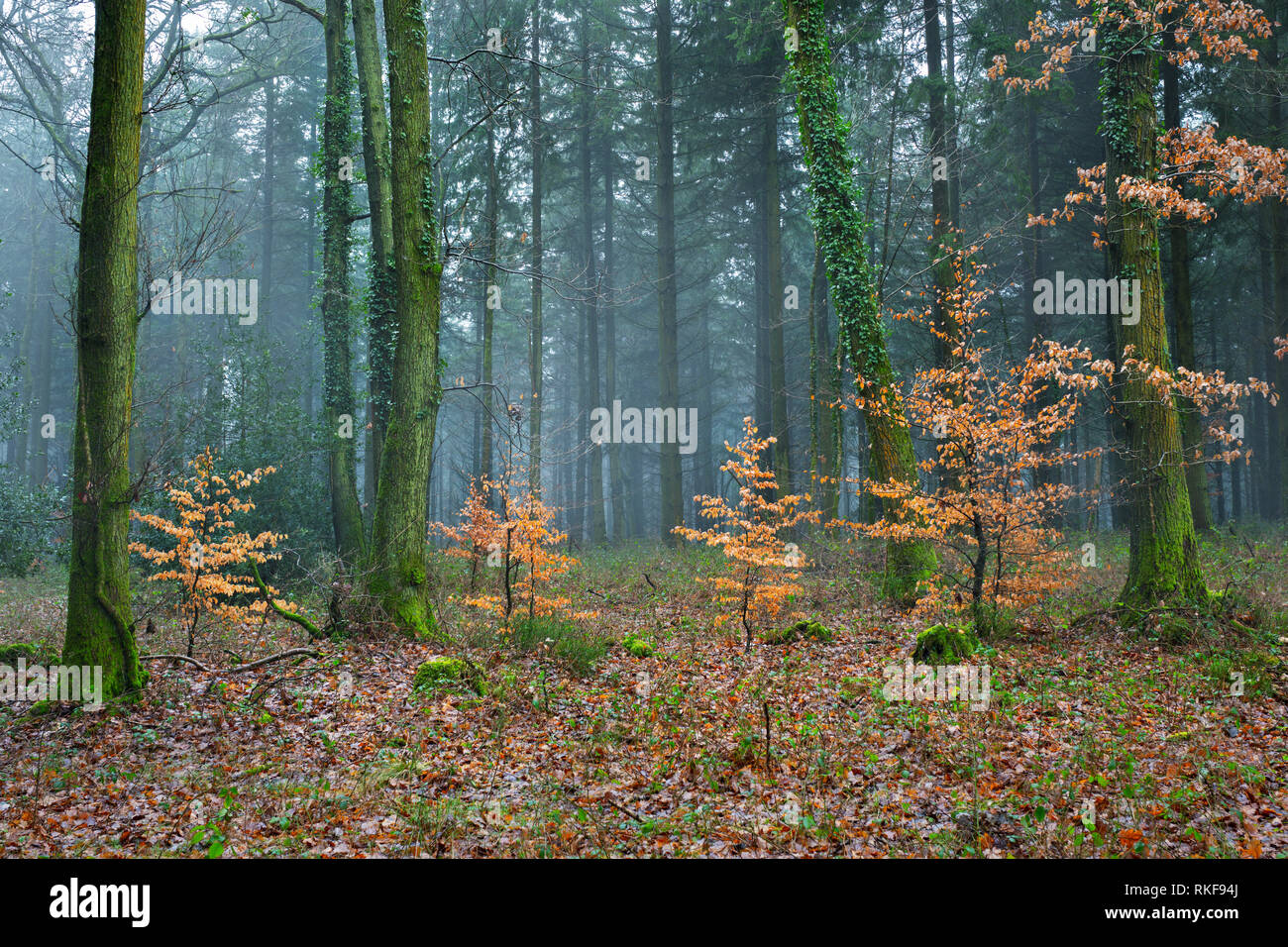 Immature Beech trees in a predominantly Conifer woodland. - Stock Image