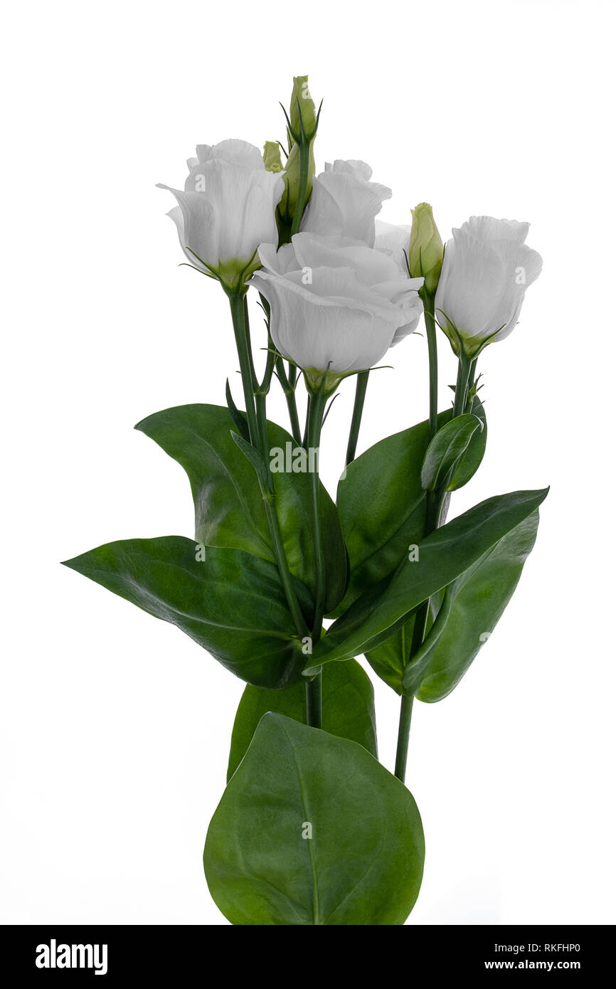 beautiful powder white lisianthus  prairie gentian eustoma on white background - Stock Image