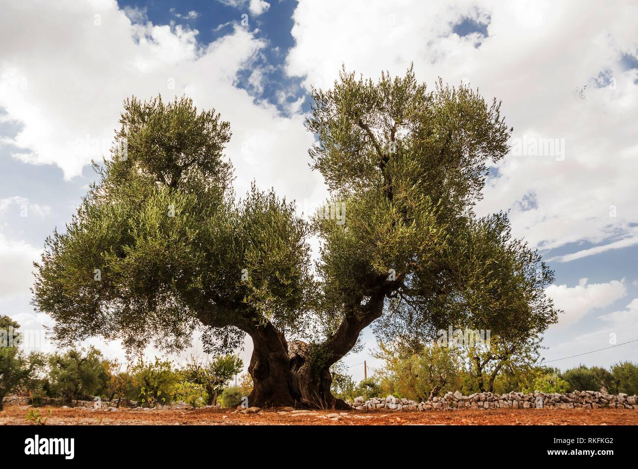 Tree of olive, secular with double hair. Apulia, Italy - Stock Image