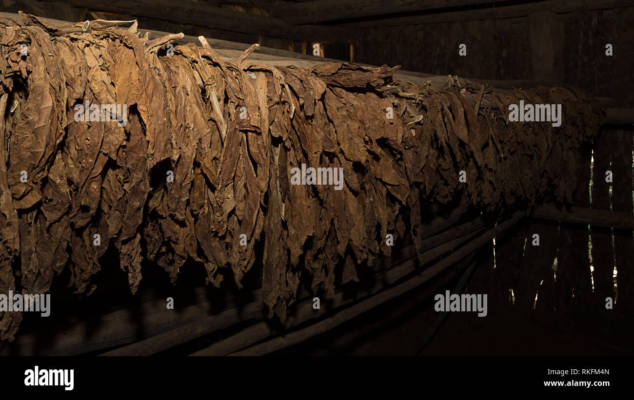 Tobacco leaves in the dryer. - Stock Image