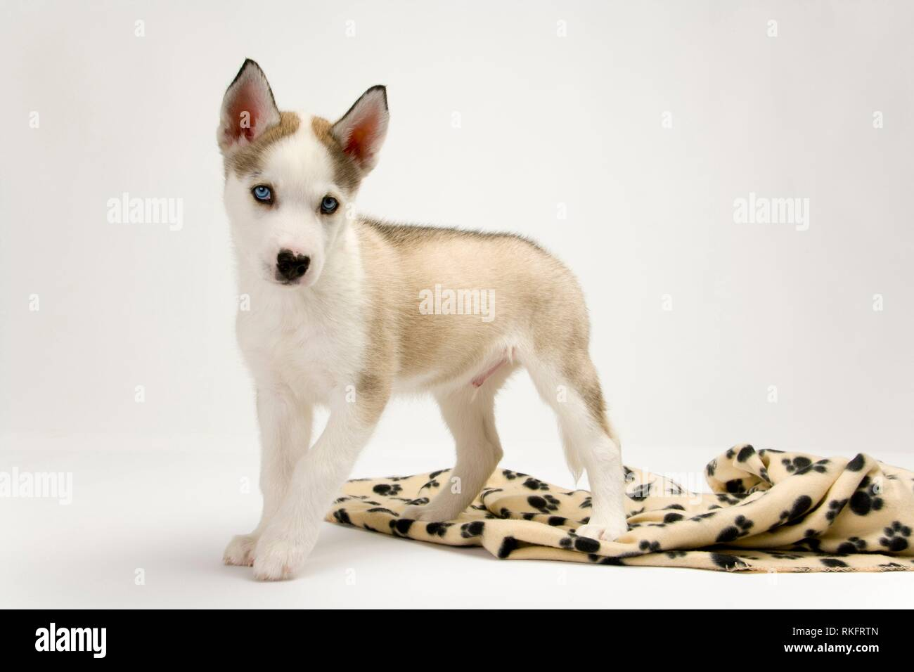 A very cute young Husky dog puppy with piercing blue eyes looking at the camera. - Stock Image