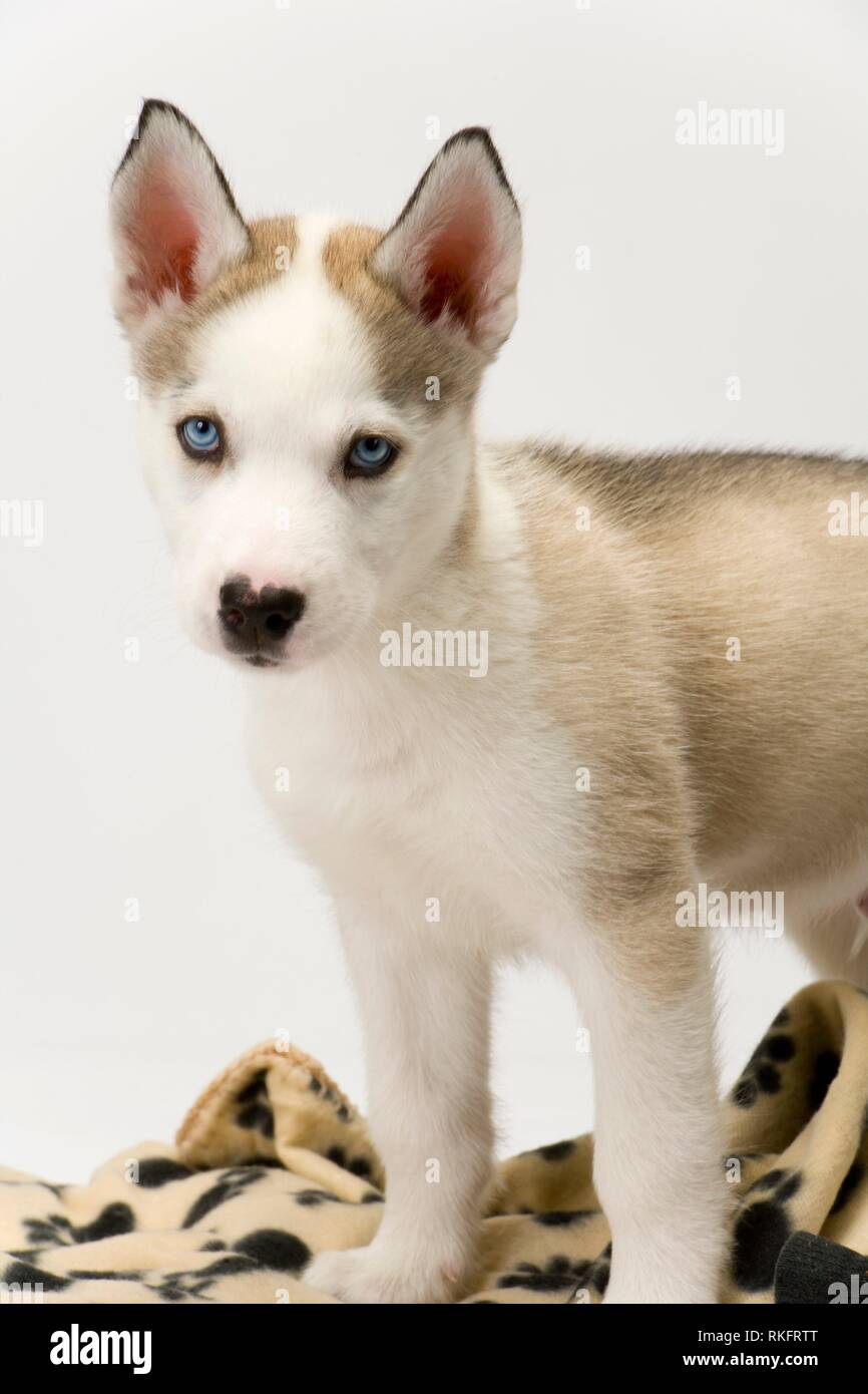 Fluffy young Husky dog puppy with piercing blue eyes poses near his blanket. - Stock Image