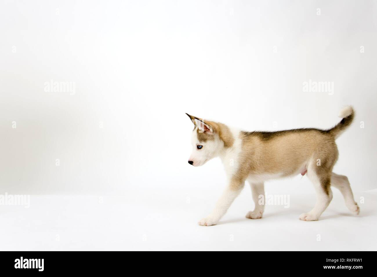A very cute young Husky dog puppy with piercing blue eyes strides out. - Stock Image