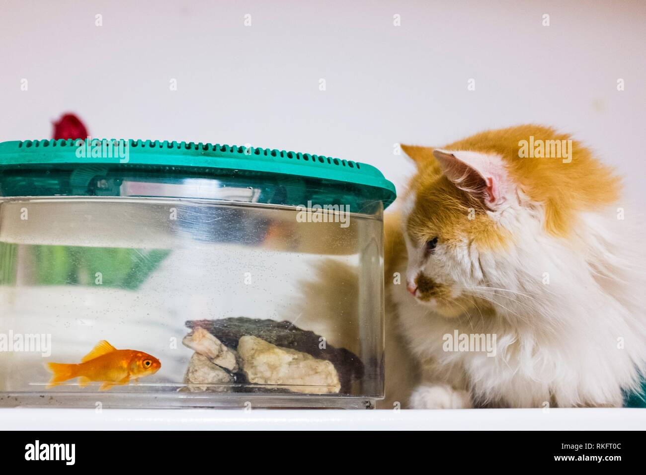 red and white cat looks with great curiosity goldfish in the aquarium at home. - Stock Image