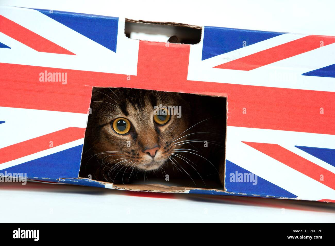 Cute wide-eyed part Abyssinian young male cat plays in a Union Jack marked cardboard box. Stock Photo