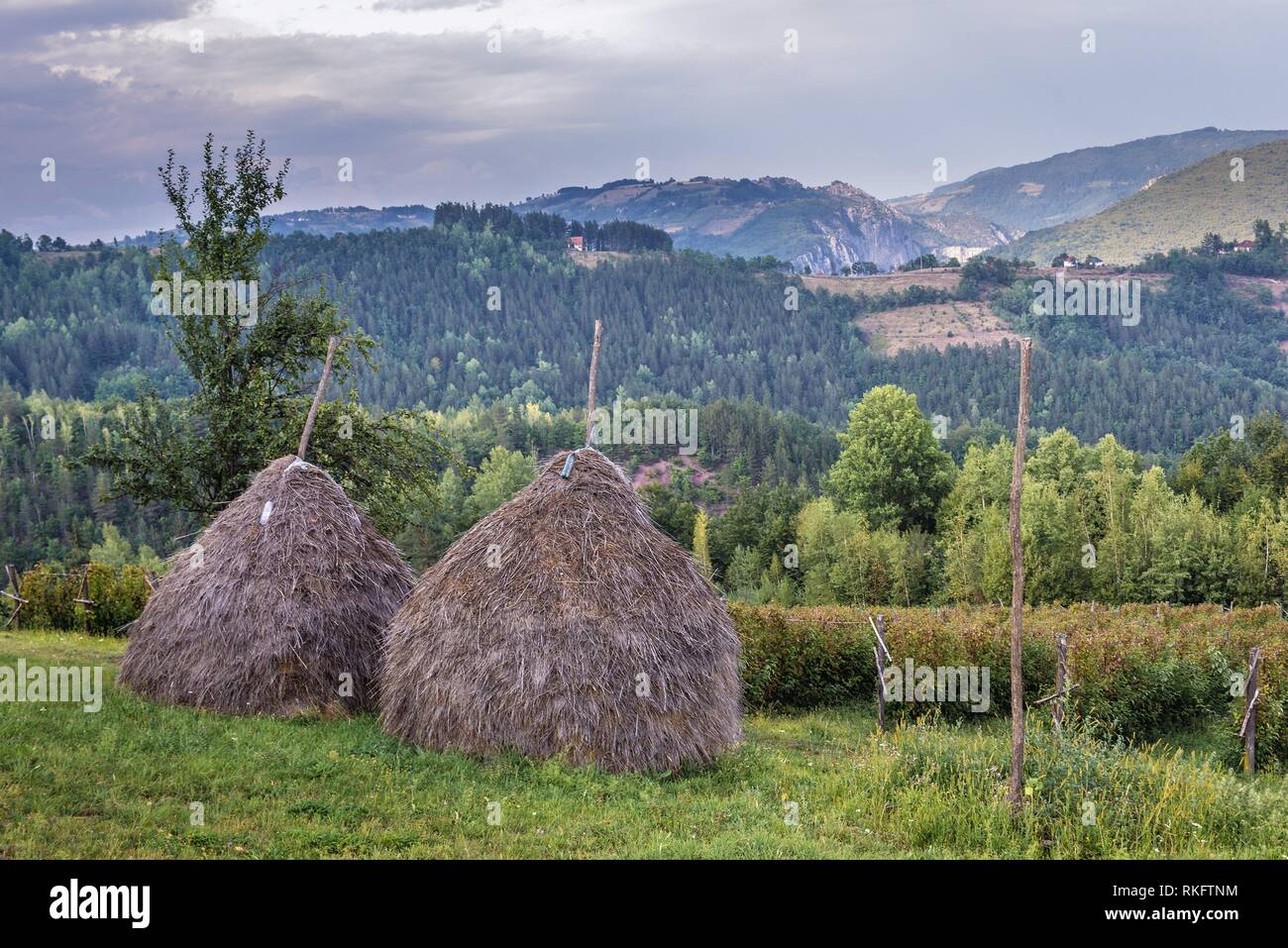 Haystacks on a meadow next to raspberry plantation in Arilje municipality of Zlatibor mountainous region in western part of Serbia. - Stock Image