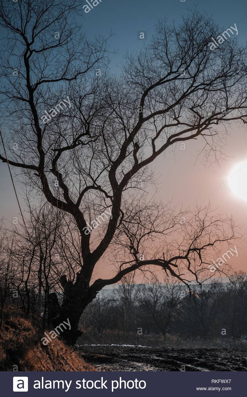 Sunset behind a decrepit tree in the spring - Stock Image