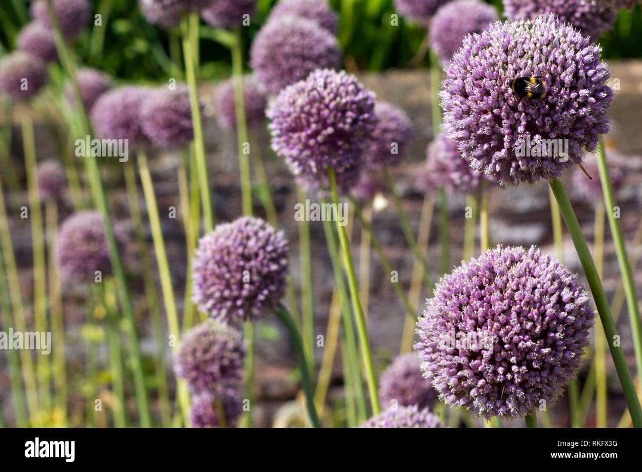 Shallow focus view of Elephant Garlic flowers, one with a bee. - Stock Image