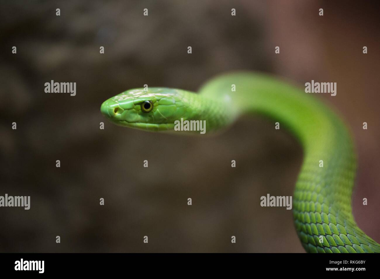The African Beauty Snake High Resolution Stock Photography And Images Alamy