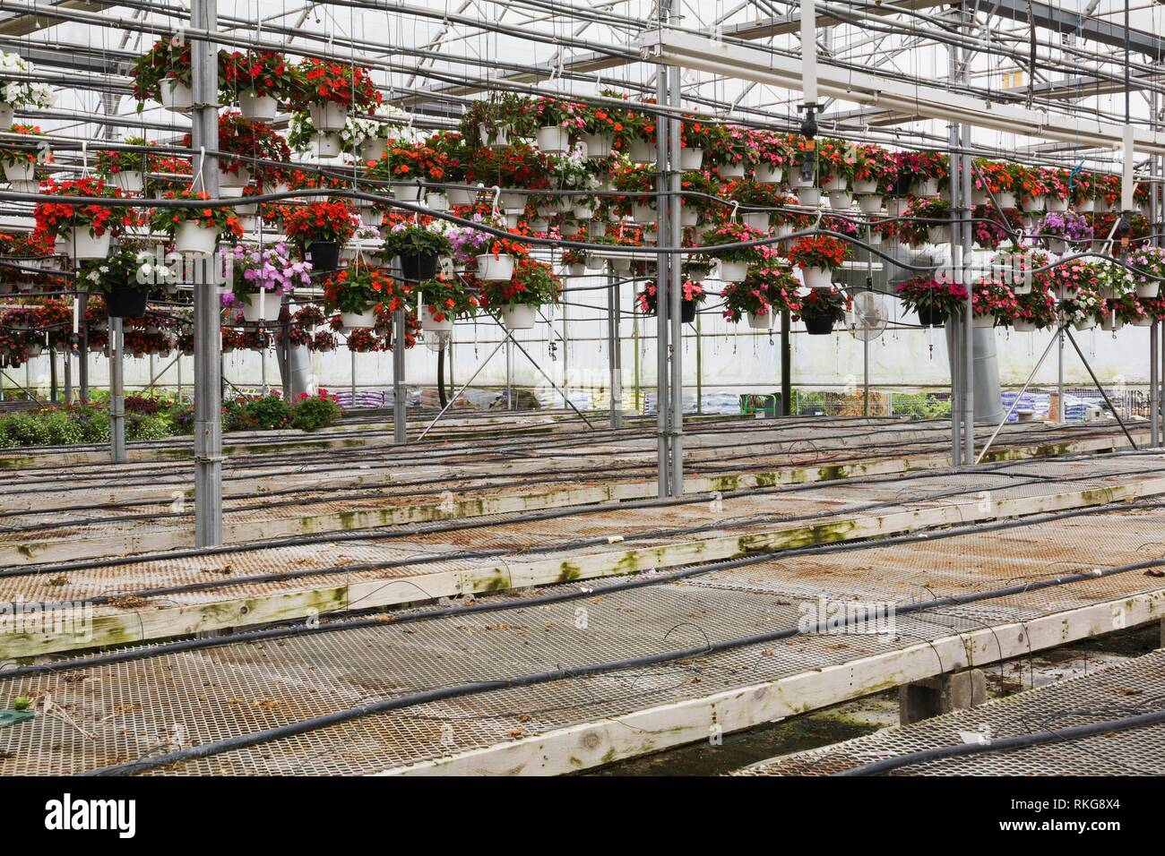 Hanging baskets of red and pink Impatiens - Balsam flowers and empty wire mesh tables inside a steel framed and plastic sheeting commercial - Stock Image