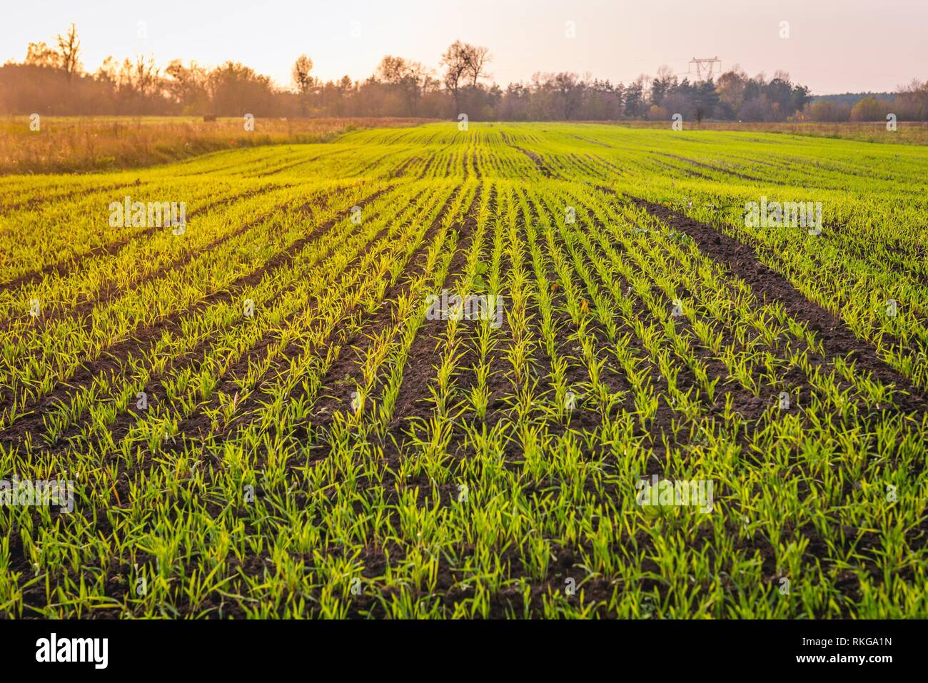 Winter cereal field in Brochow village, Sochaczew County in Masovian Voivodeship of Poland. - Stock Image