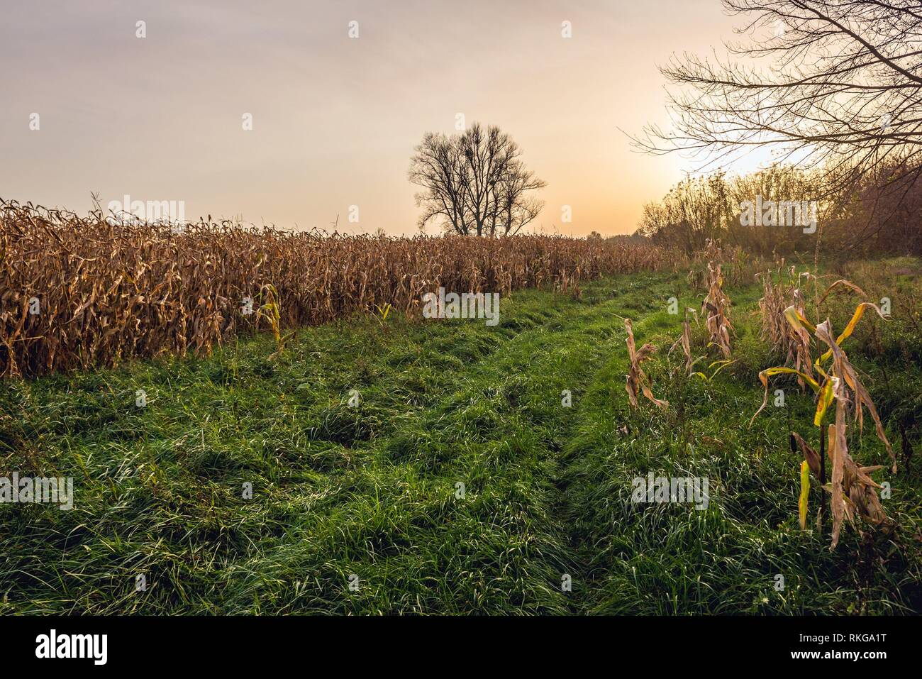 Corn fields in Witkowice village, Sochaczew County in Masovian Voivodeship of Poland. - Stock Image