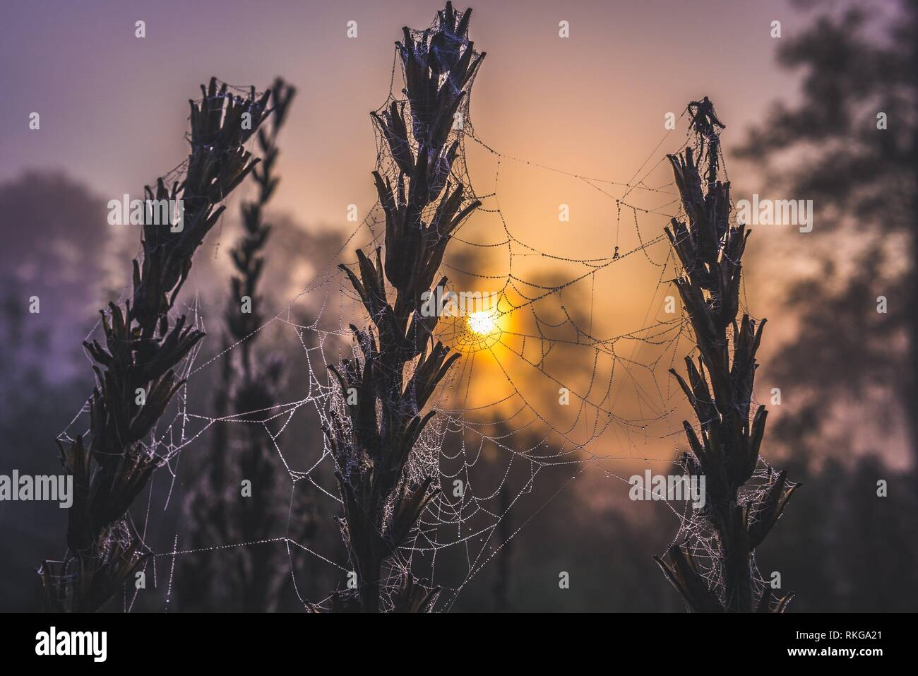 Spider's web on a meadow in Sochaczew County on the edge of Kampinos Forest, large forests complex in Masovian Voivodeship of Poland. - Stock Image