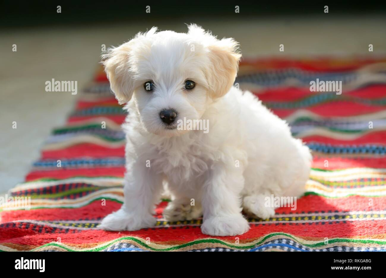 White puppy maltese dog sitting on red carpet. - Stock Image