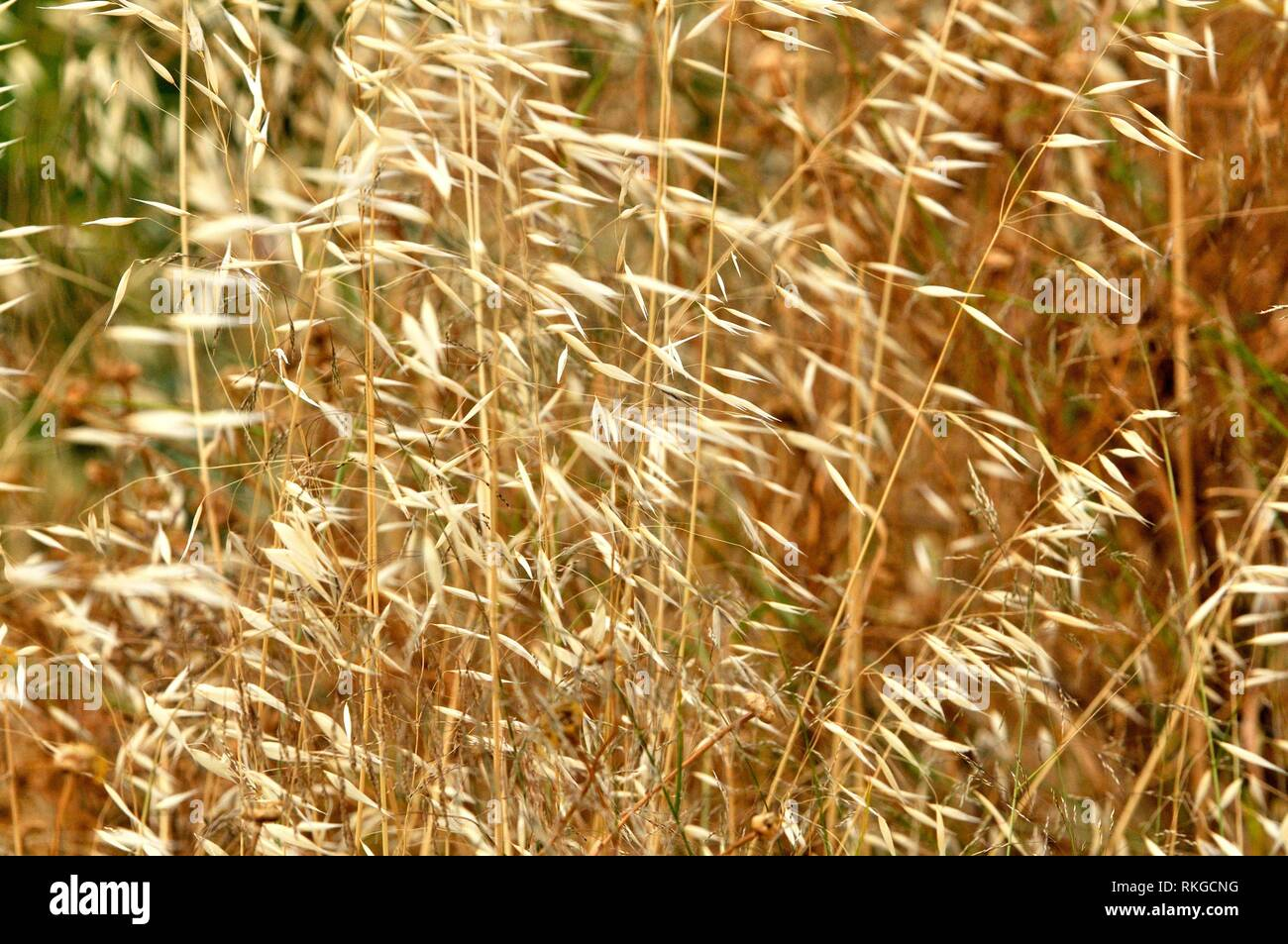 Avena fatua, species of grass in the oat genus. Fam. Poaceae. It is known as the common wild oat. Barcelona, Catalonia, Spain. Stock Photo