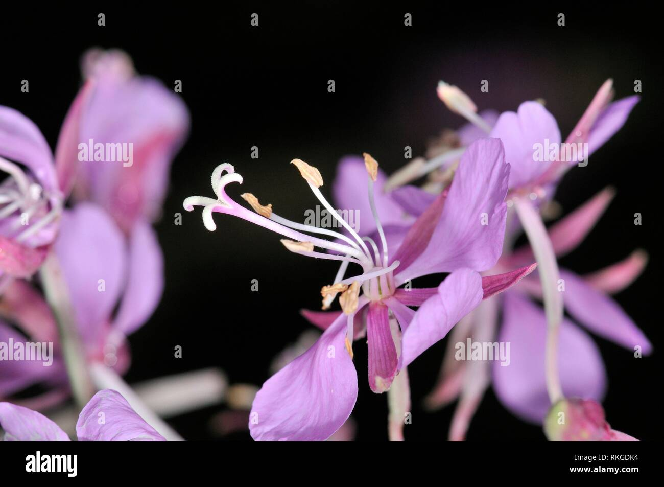 Flowers of Fireweed (Epilobium angustifolium, fam. Onagraceae. Sorteny valley, Natural Park. Andorra. - Stock Image
