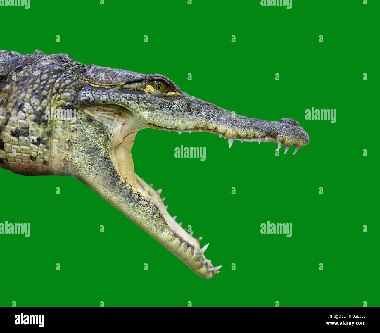 Crocodile young provile view from Mexico open mouth on green background. Stock Photo