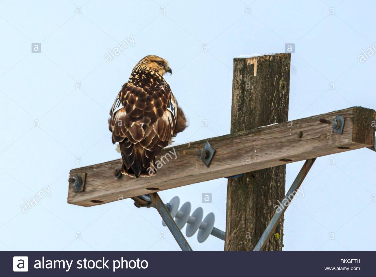 A beautiful hawk is perched on a wooden pole near Davenport, Washington. - Stock Image