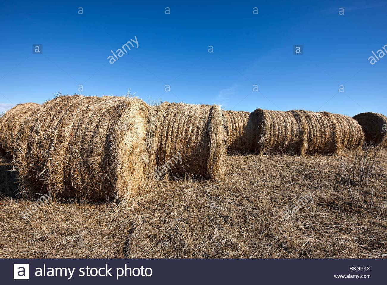 Large round hay bales sit under a clear blue sky near Davenport, Washington. - Stock Image