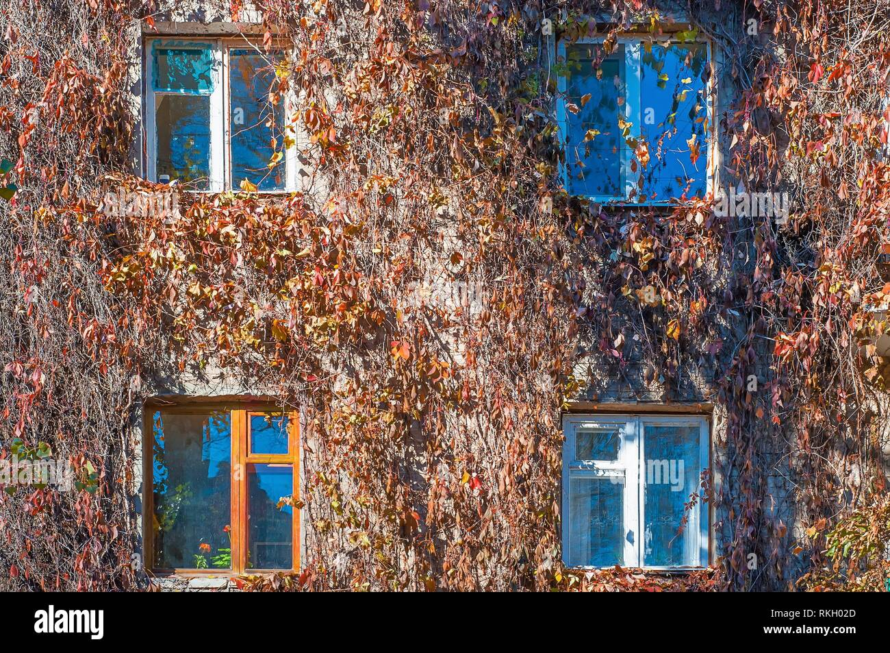 Facade of the house is braided with wild grapes. The vine in the fall, the windows of the house. Stock Photo