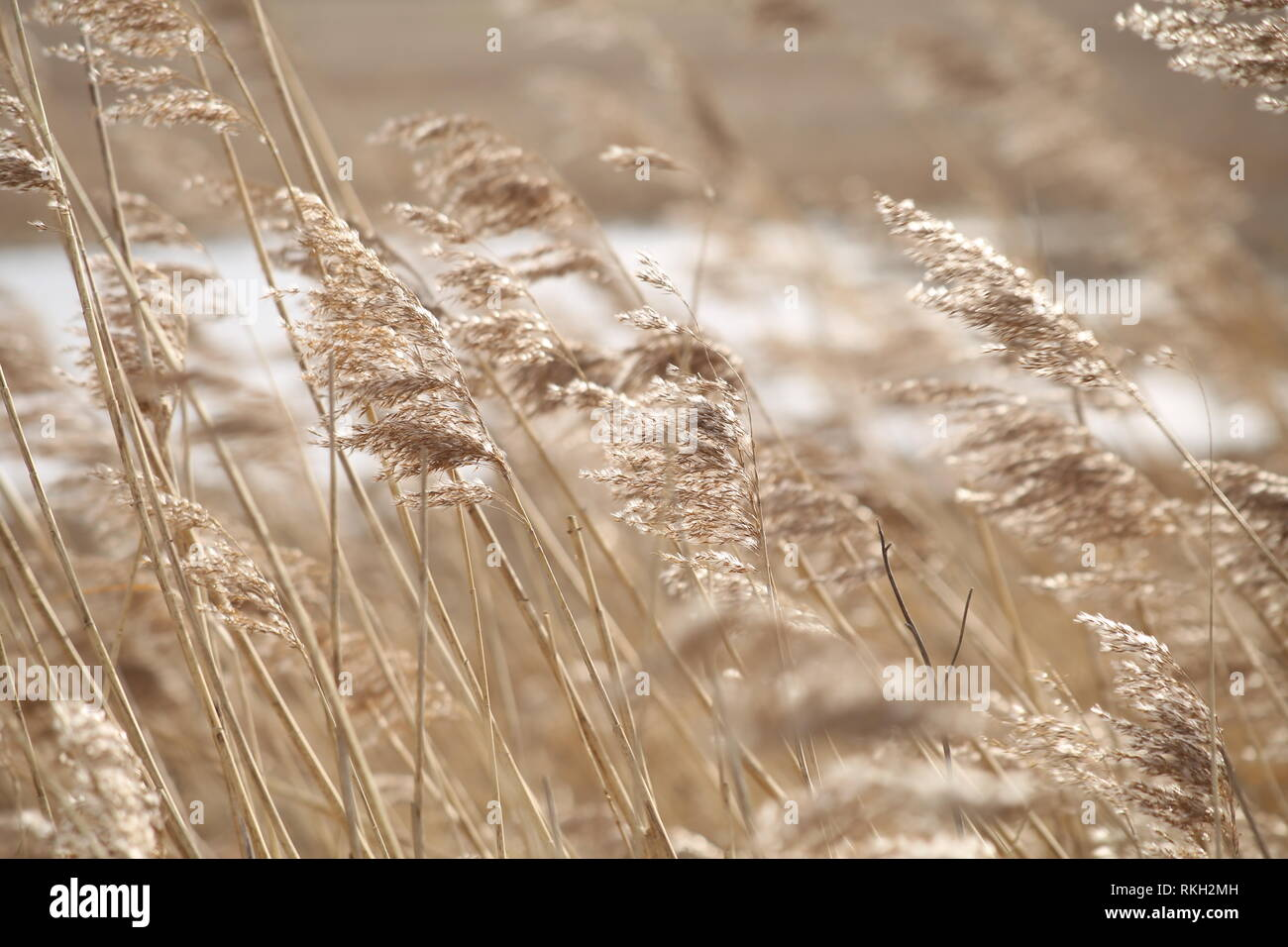 Cinematic motion - A line of Golden Reeds swaying in wind - Stock Image