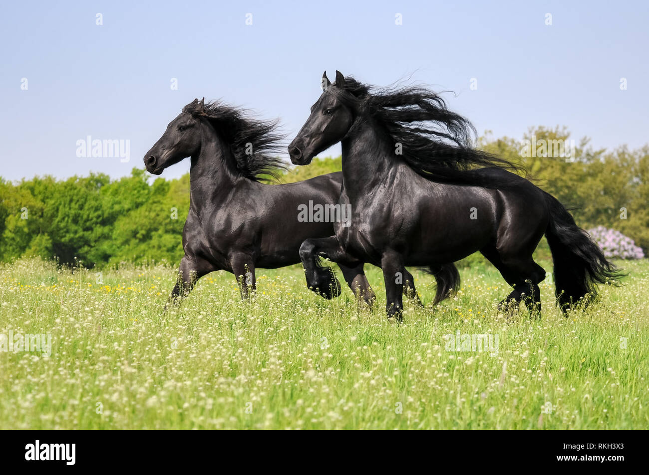 Two Friesian horses, black coat colored, running powerfully with waving manes in a flowering green grass meadow in spring, Germany - Stock Image