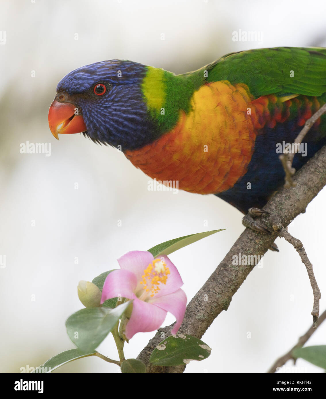 A spectacular rainbow lorikeet (Trichoglossus moluccanus) feeding on nectar and pollen from a flower at the Royal Botanic Garden, Sydney, Australia - Stock Image