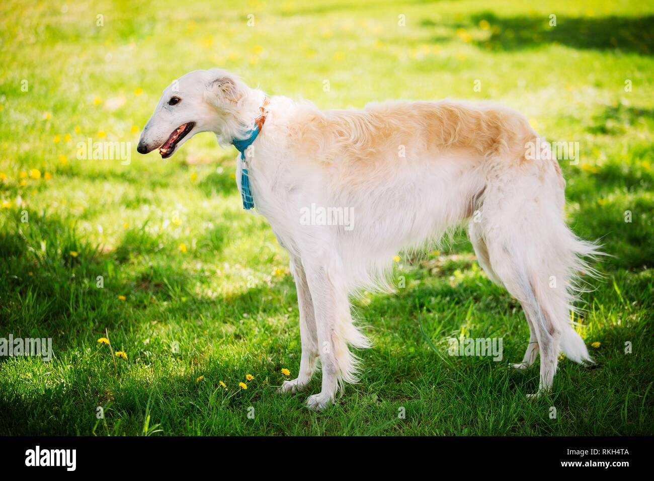 White Gazehound Hunting Dog Staying Outdoor In Summer Meadow Green Grass. Stock Photo