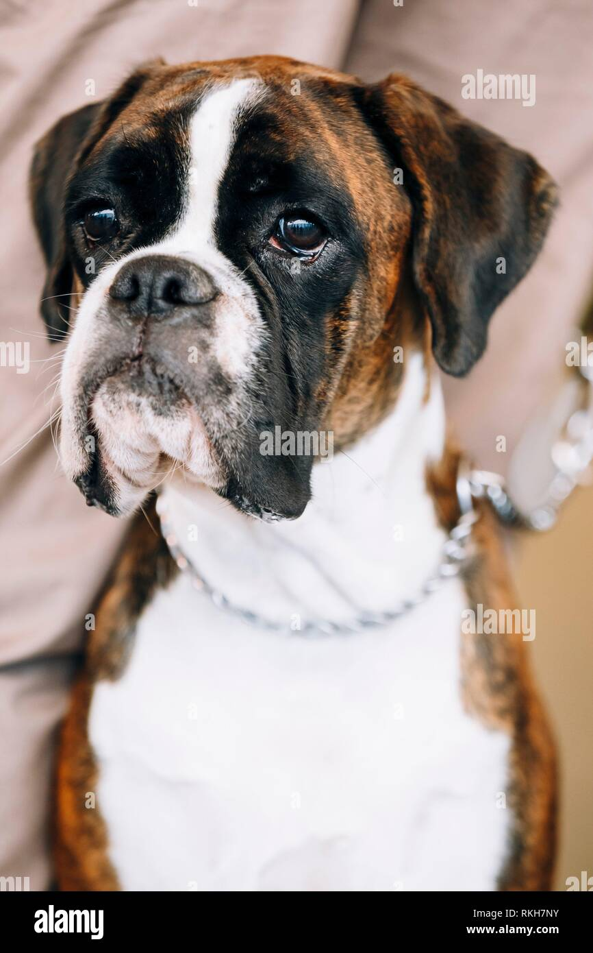 Boxer Dog Sitting Near Owner The Boxer Is A Breed Of Medium