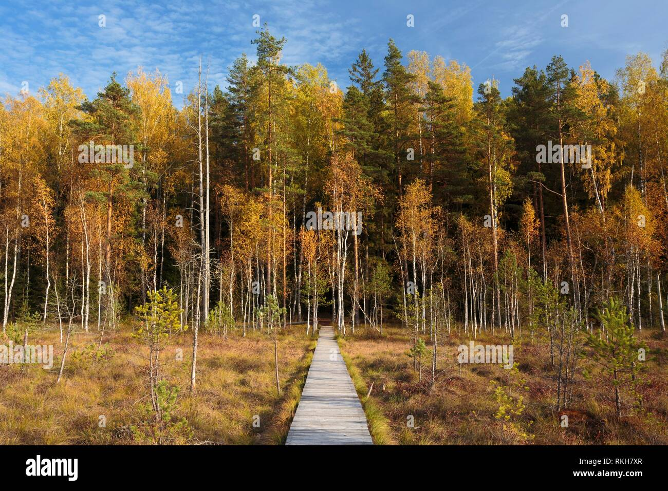 Wooden Path Way Pathway From Marsh Swamp To Forest. Autumn Season. Stock Photo