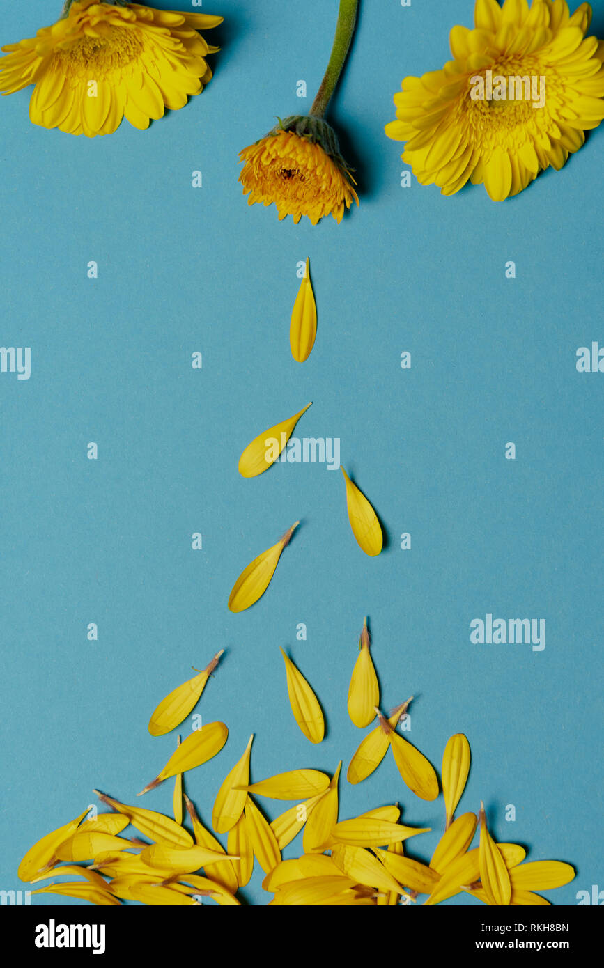 Yellow chrysanthemum flowers on a blue paper background and falling petals - Stock Image
