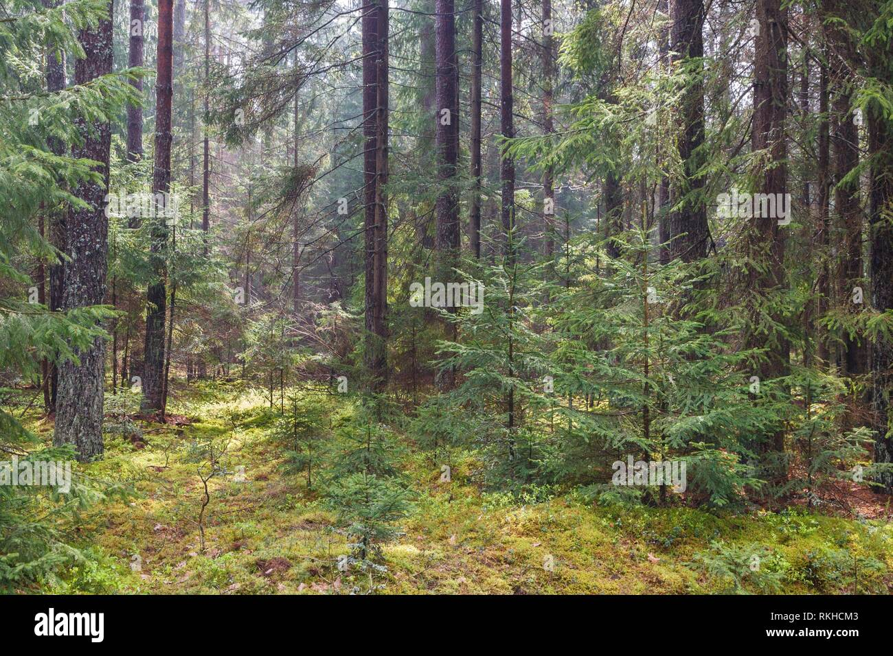 Pine tree stand in springtime with juvenile spruces in foreground, Bialowieza Forest, Poland, Europe. - Stock Image