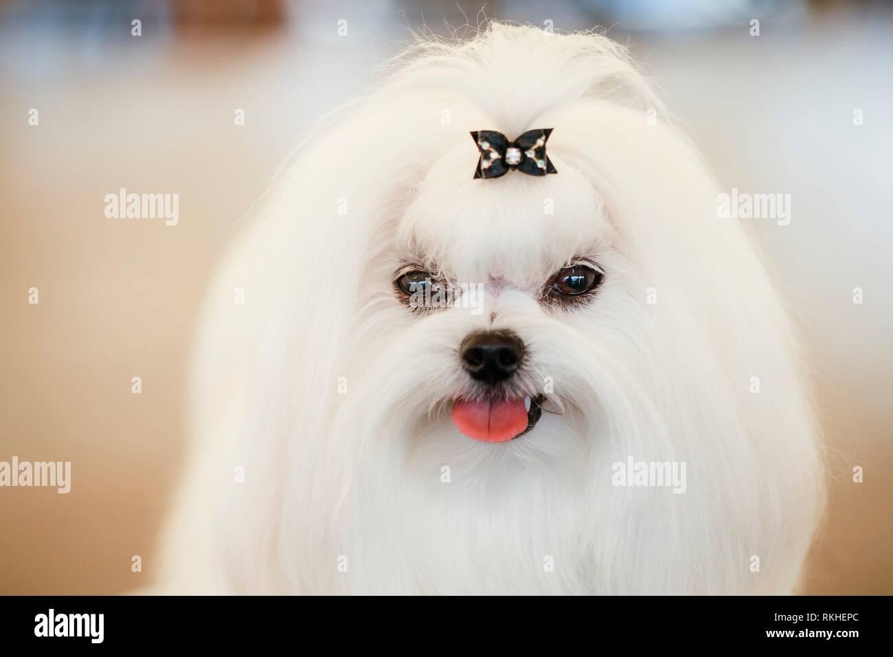 Cute Shih Tzu White Toy Dog Indoors ...