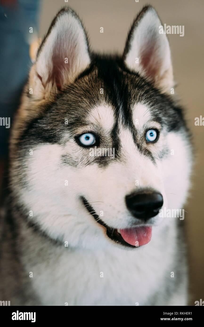 Close up blue-eyed Gray Adult Siberian Husky Dog. Stock Photo