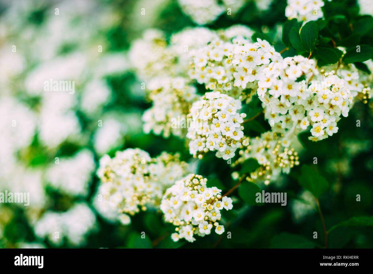 White Spirea Flowers On Bush At Spring. Spiraea flowers are highly valued in decorative gardening and forestry management. The plant is widely used - Stock Image
