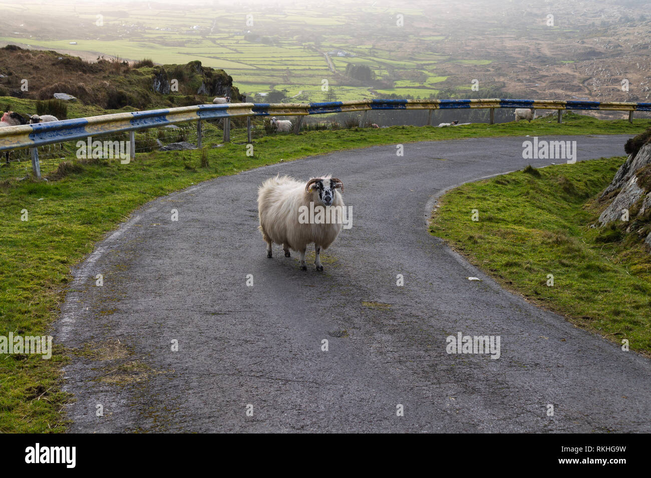 Mixed breed ewe blocking a road on a mountain side in Ireland. - Stock Image