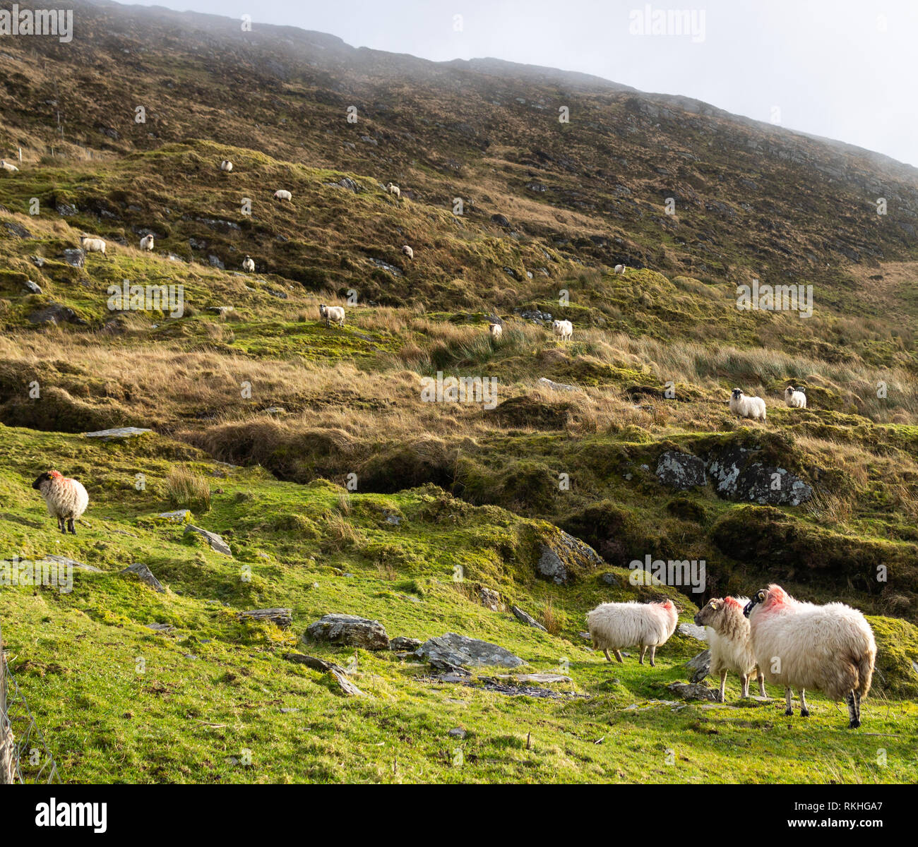 Mixed breed ewes or sheep on a mountain side in Ireland. - Stock Image