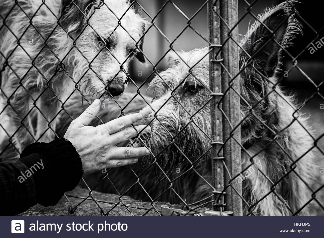 Woman petting stray dogs, kennel for stray animals. - Stock Image