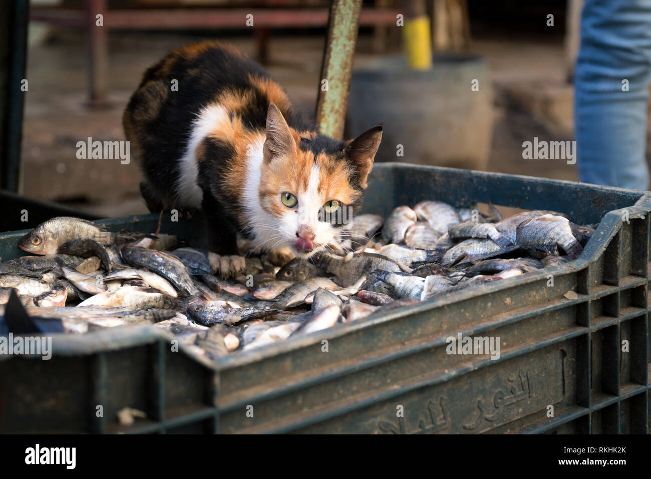 A beautiful small cat stands on a box of small fish ready to steal one at a Alexandria street market in Egypt - Stock Image