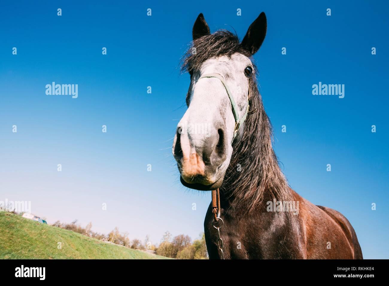 Gomel, Belarus. Close Up Of Funny Portrait On Wide Angle Lens Of Horse On Blue Sky Background. Big Head. Lens Distortion. - Stock Image