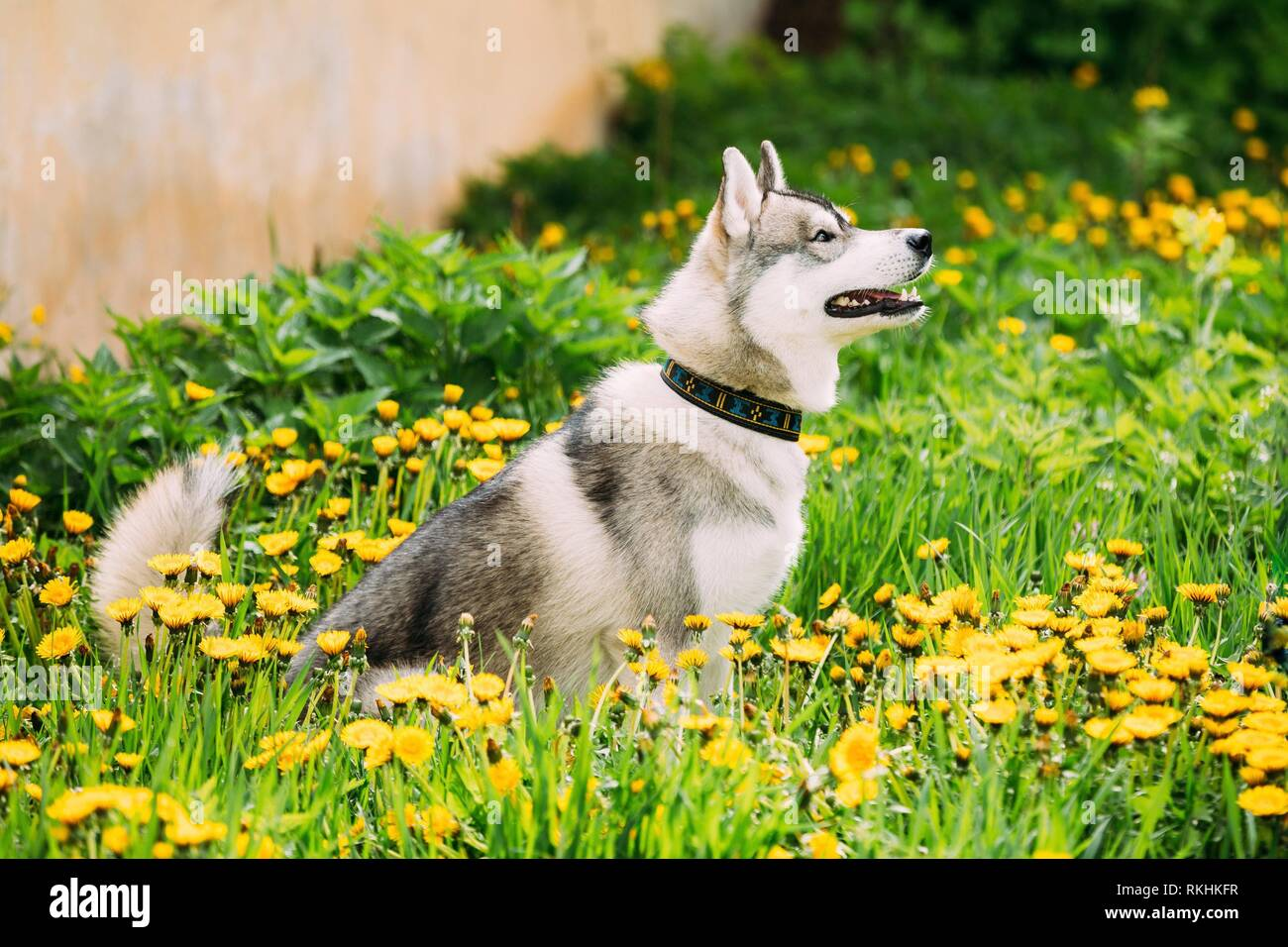 Obedient Funny Young Happy Husky Puppy Eskimo Dog Sitting In Grass And In Yellow Dandelions Outdoor. Spring Season. - Stock Image