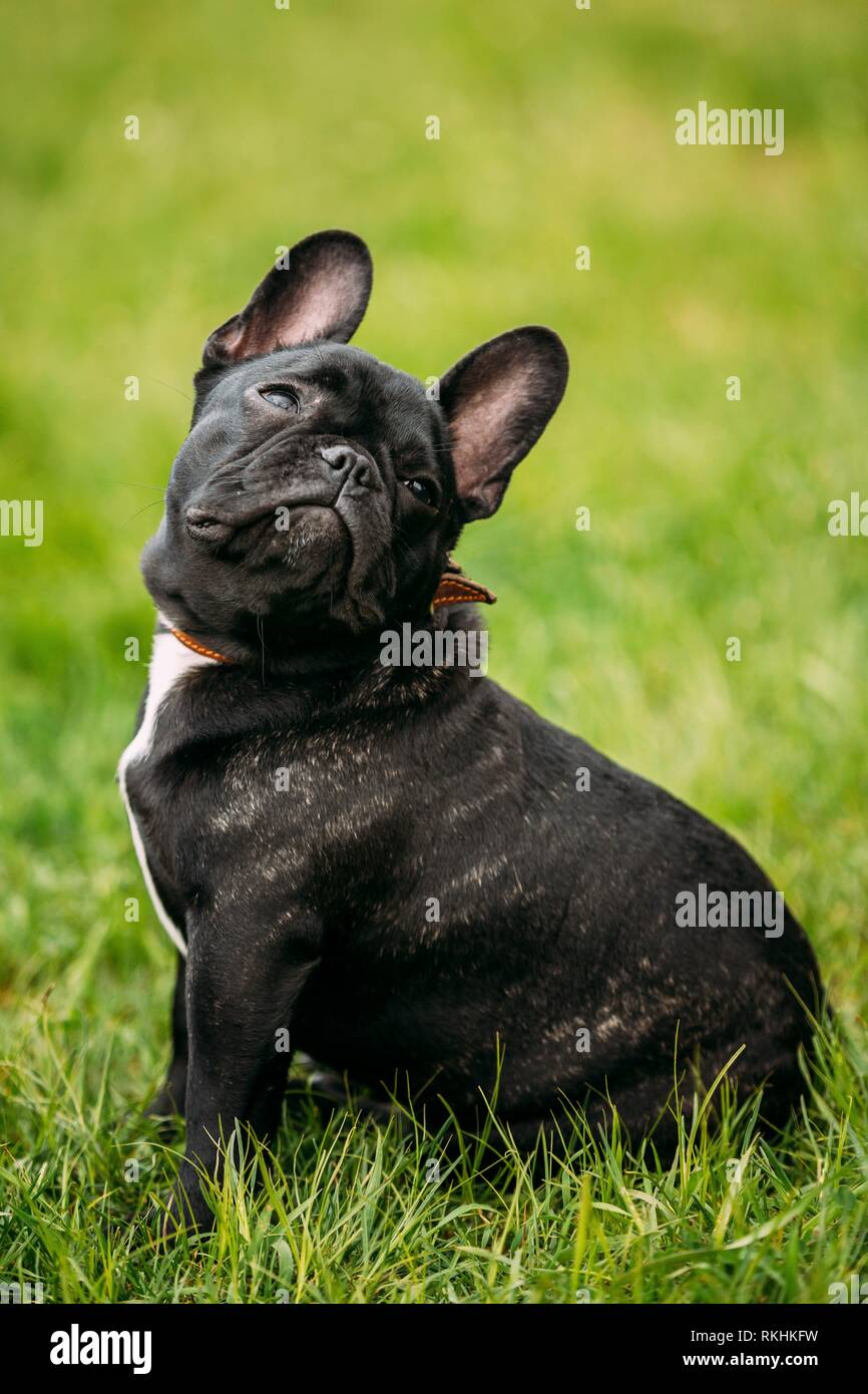 Funny Young Black French Bulldog Puppy Dog With A White Spot On His Chest Play In Green Grass In Park Outdoor Dog Looking Up Stock Photo Alamy