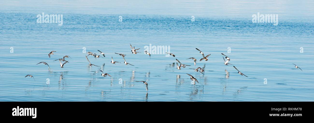 Ruddy turnstone (Arenaria interpres), flock of birds flies over the water, Helgoland, island Düne, North Sea - Stock Image