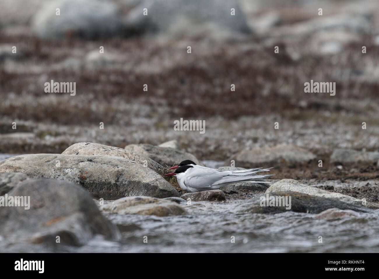 Two Arctic Tern, Sterna paradisaea, hiding behind rocks from strong winds, near Arviat, Nunavut, Canada - Stock Image