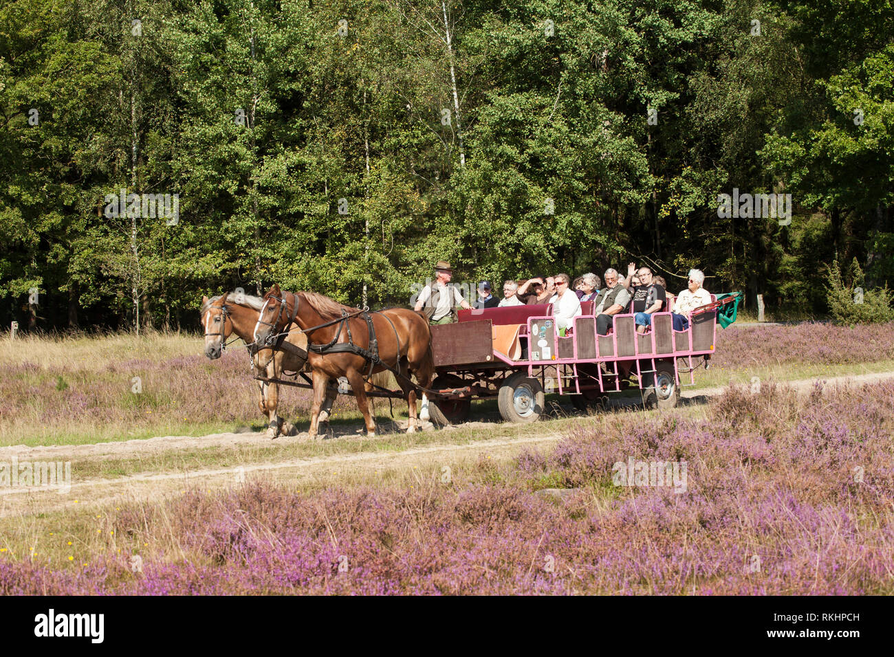 ourists in a horse-drawn carriage in the landscape with flowering heather (Calluna vulgaris) nature reserve Lueneburg Heath, Lower Saxony, Germany, Eu Stock Photo