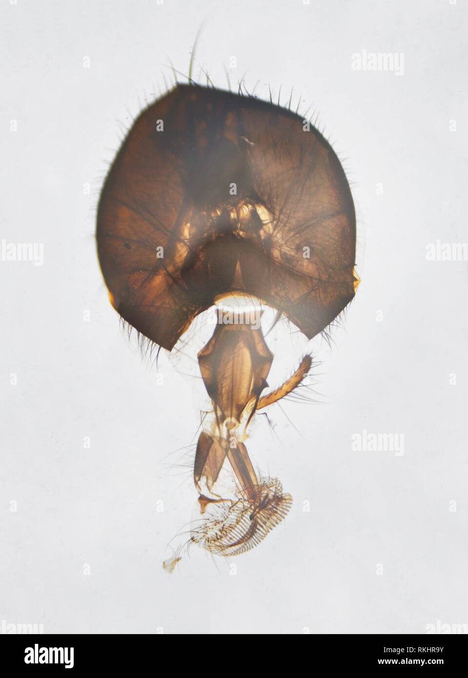 Microscopic photography. House fly mouthpart and head. - Stock Image