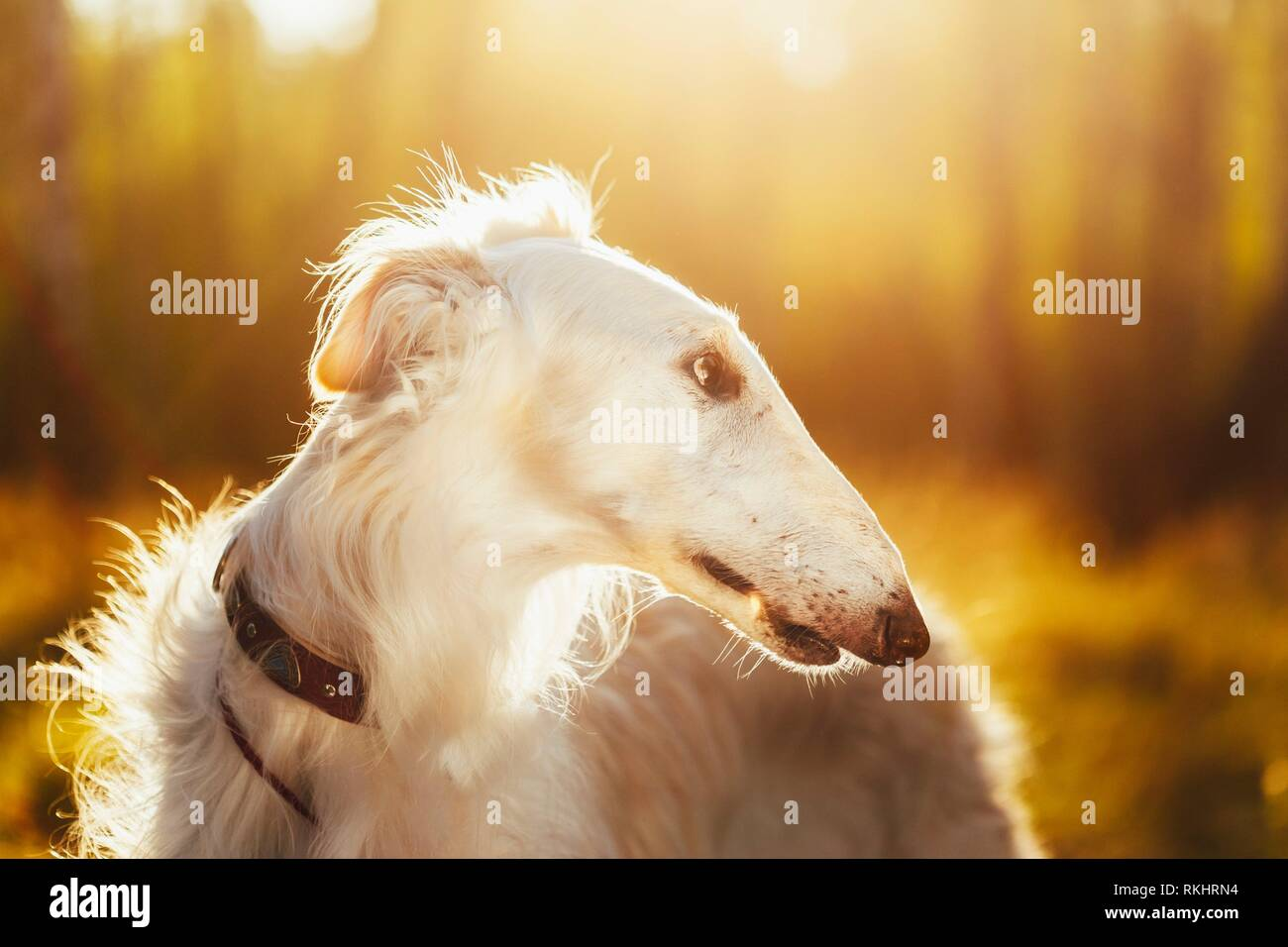 Close up of White Russian Hunting Dog, Sighthound, Russkaya Psovaya Borzaya, Psovoi. Sunset sunlight. Stock Photo
